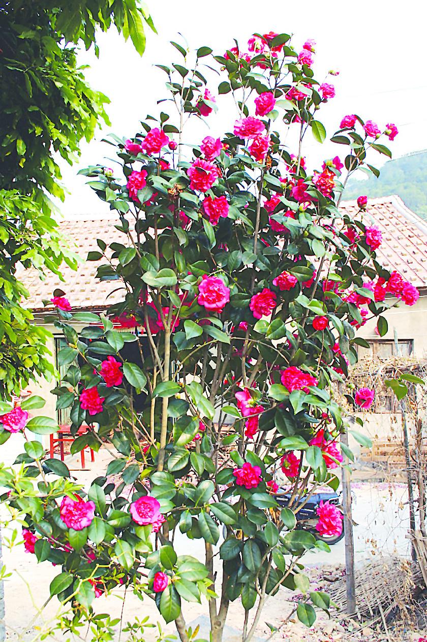 คามิเลีย Camellia Seeds/ 2 เมล็ด