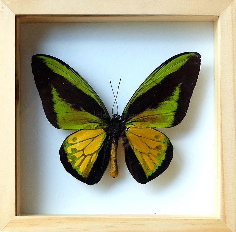 ++ ผีเสื้อสต๊าฟ กล่องผีเสื้อเซ็ทลอย ผีเสื้อปีกนกโกไลแอธ (Ornithoptera goliath) // กล่องไม้ ++